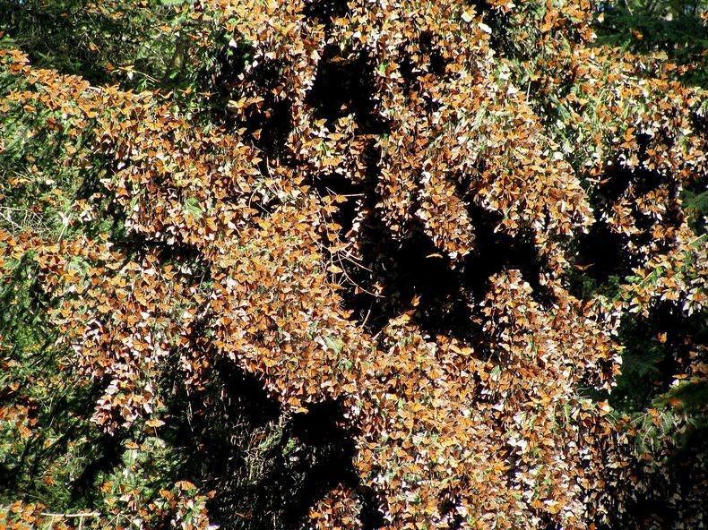 Миграция Бабочки монарх