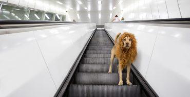 Как сделать из собаки льва